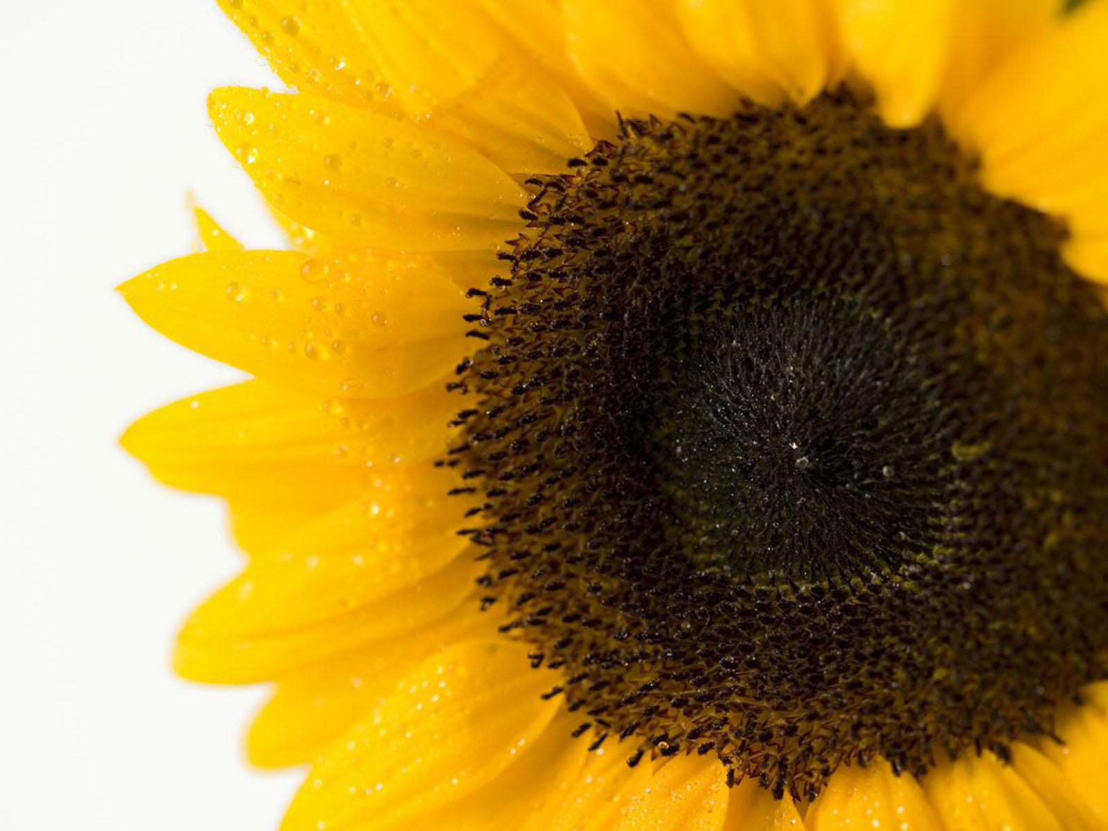 wallpapers Sunflower Close Up Wallpapers