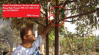 Bibit Durian Musang King Bpk Faisal 082.137.433.114
