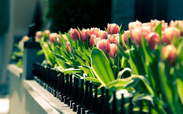 Ảnh đẹp cuộc sống: Bộ hình nền đẹp về cánh đồng hoa Tulip 10