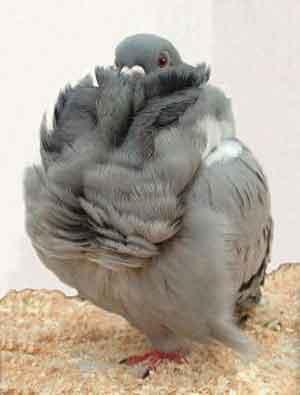 Jenis Burung Hias Burung Merpati Fantail Dari Cina