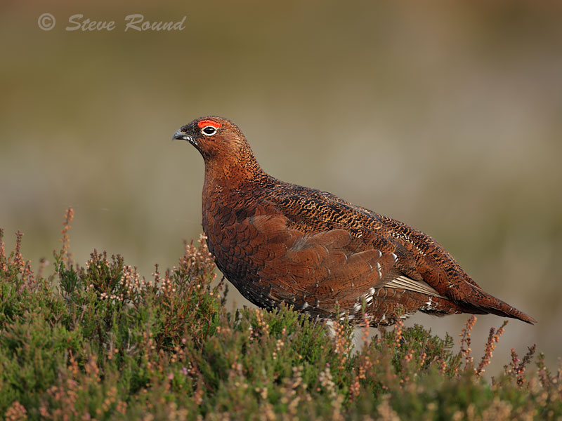 Red Grouse, bird, famous, gamebird