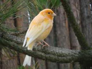 Asal Muasal Dan Habitat Asli Burung Kenari