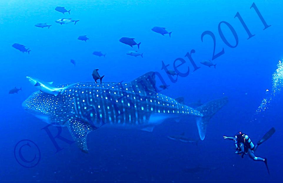 basking-shark-vs-whale-shark Images - Frompo - 1 Basking Shark Vs Whale Shark