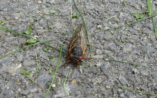 Live Cicada
