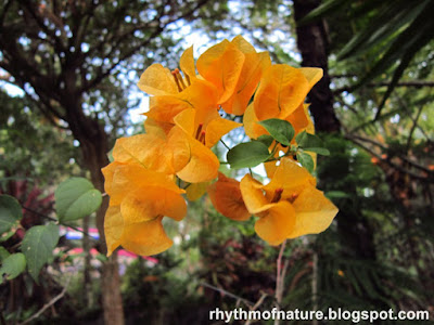 Yellow Bougainvillea