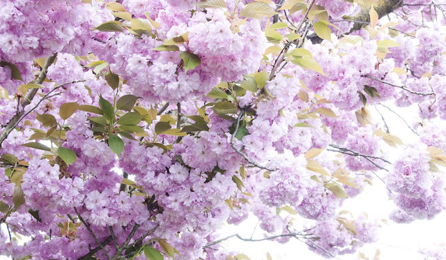 tree, flowers, pink, spring