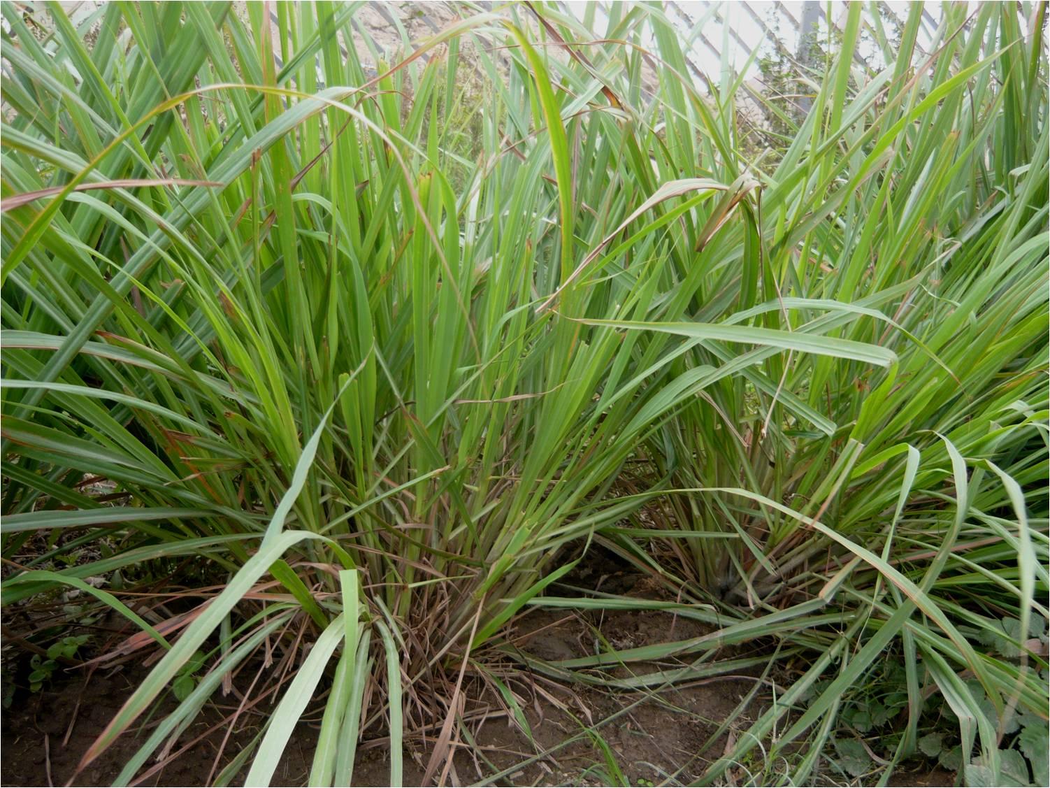 Alternativa ecol gica cultivo de hierbaluisa for Salsa de hierba luisa