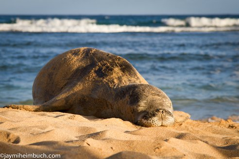 Hawaiian Monk Seals Find a Haven On Midway (Photos)