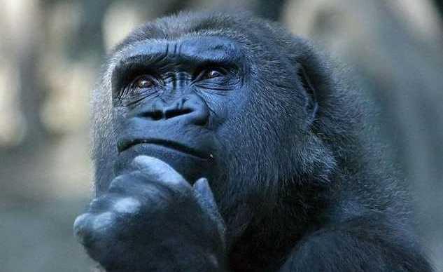Mi raccomando, so ricchioni Gorilla_dubbioso