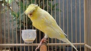Burung Kenari - Solusi Penangkaran Burung Kenari -  Kode Ring Kenari Import Pada Negara Swiss