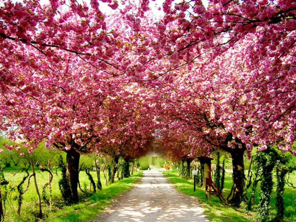 pink spring trees wallpaper - photo #47