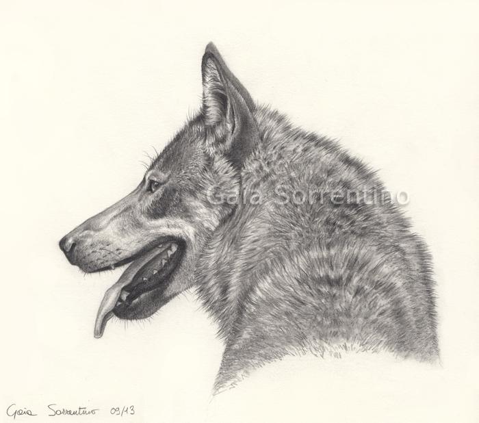 Gaia sorrentino disegnatrice naturalista conoscere il lupo for Lupo disegno a matita