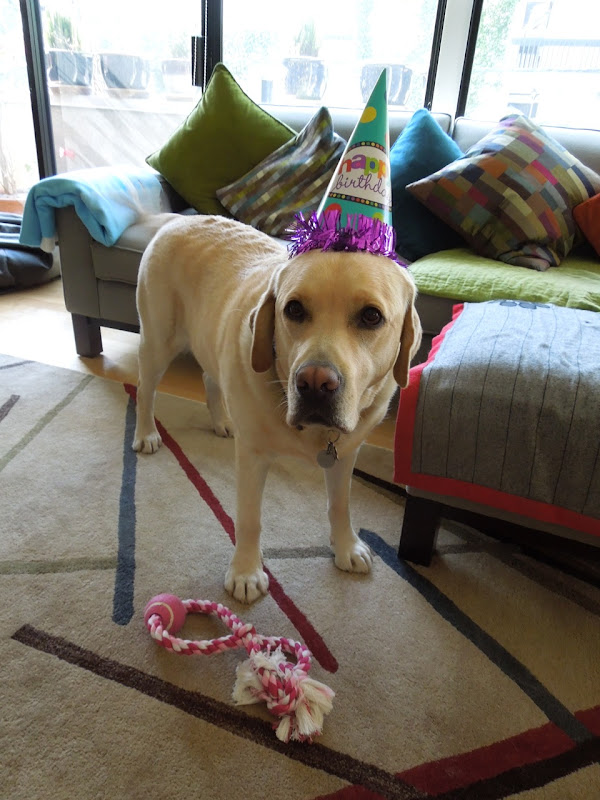 4 year old English Labrador Cooper