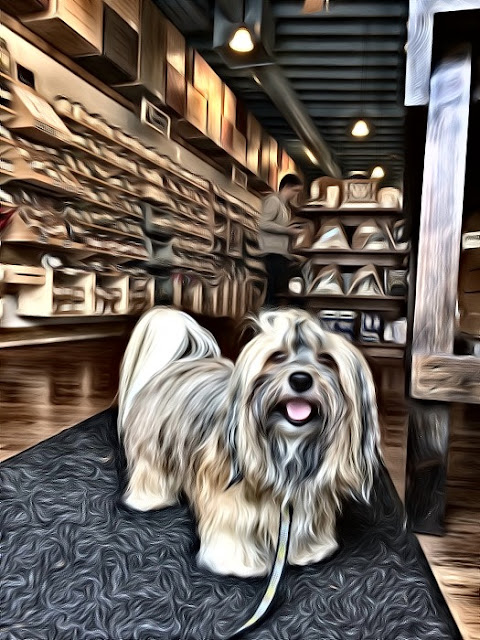 Rocco Havanese dog Virginia Highland dog walk