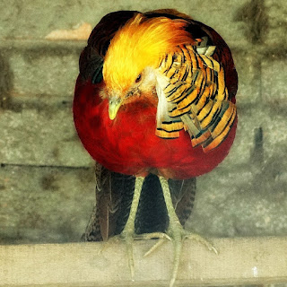 Faisão Dourado, Mini Zoológico de Aves - Santiago (RS)