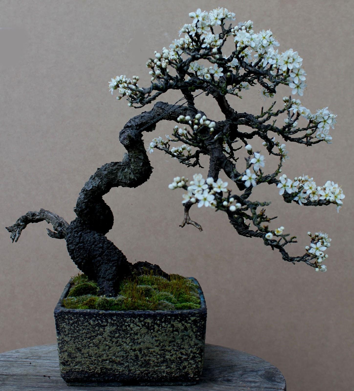 Wildwoodbonsai Beautiful Blackthorn Prunus Spinosa