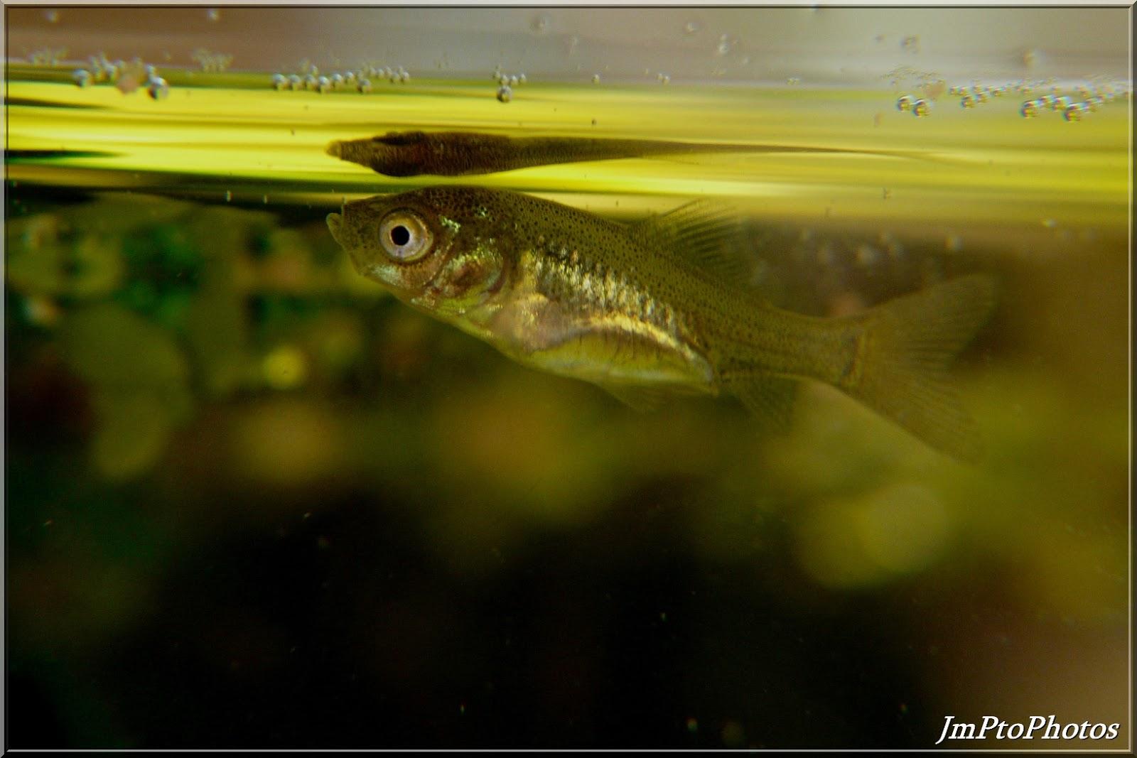 Jmptophotos alevin de poisson rouge for Nourriture poisson rouge 1 mois