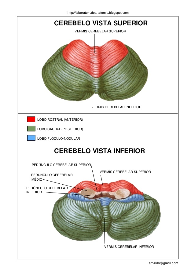 Lujoso Anatomía Funcional Del Cerebelo Adorno - Imágenes de Anatomía ...