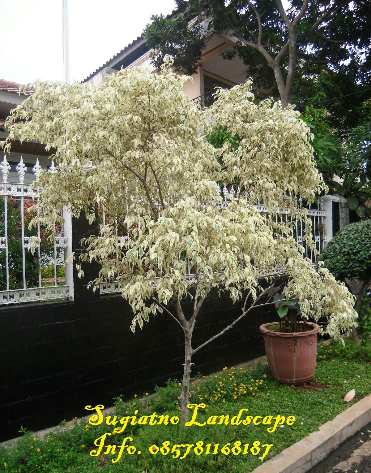 Beringin putih | Harga pohon Beringin putih | Tukang taman ...
