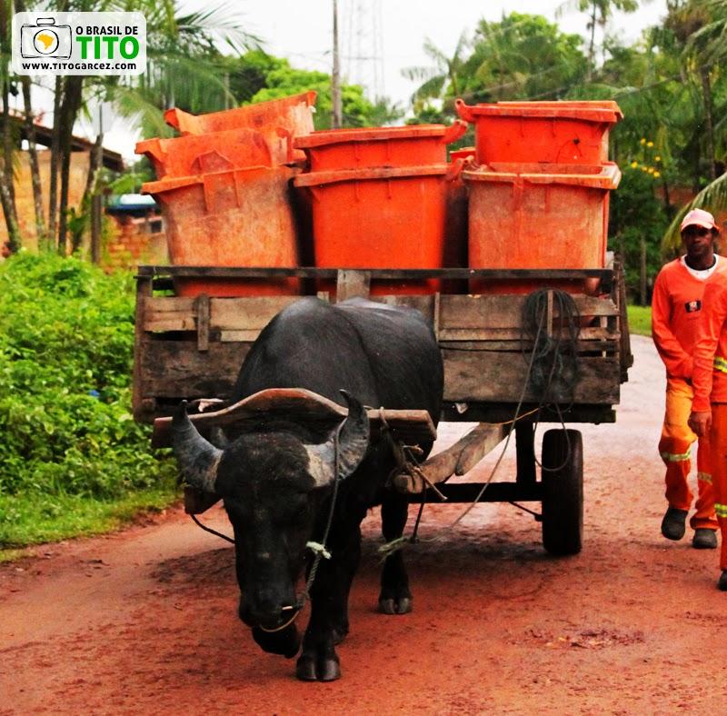 Búfalo utilizado para transporte de carga na ilha de Cotijuba, em Belém, no Pará