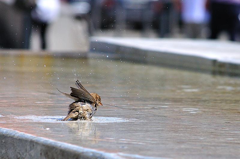 Little bathing sparrow