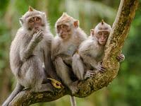 Apakah Perbedaan Monyet Dan Kera?