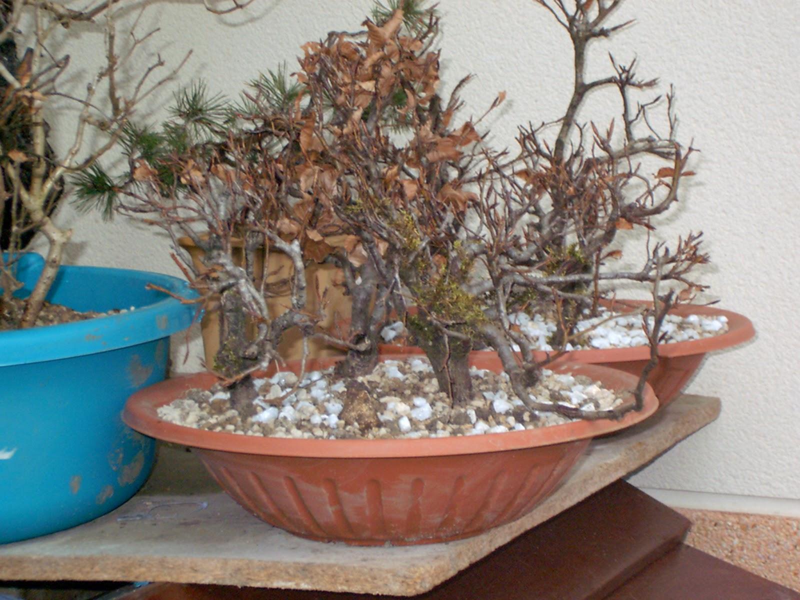 El paso de los a os en los bonsais bosque de hayas - Bonsai de haya ...