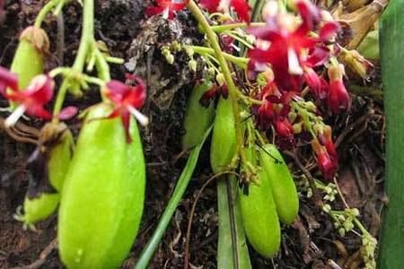 Kandungan Gizi Nutrisi Belimbing Wuluh & Manfaatnya