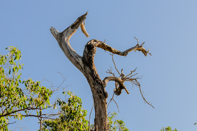 bent branches on eucalypt tree