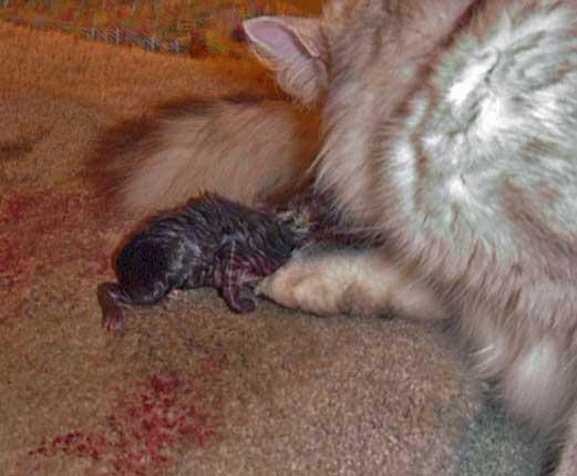 Беременная кошка пробка
