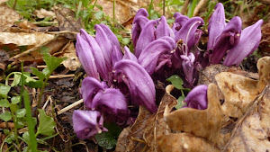 Purple toothwort