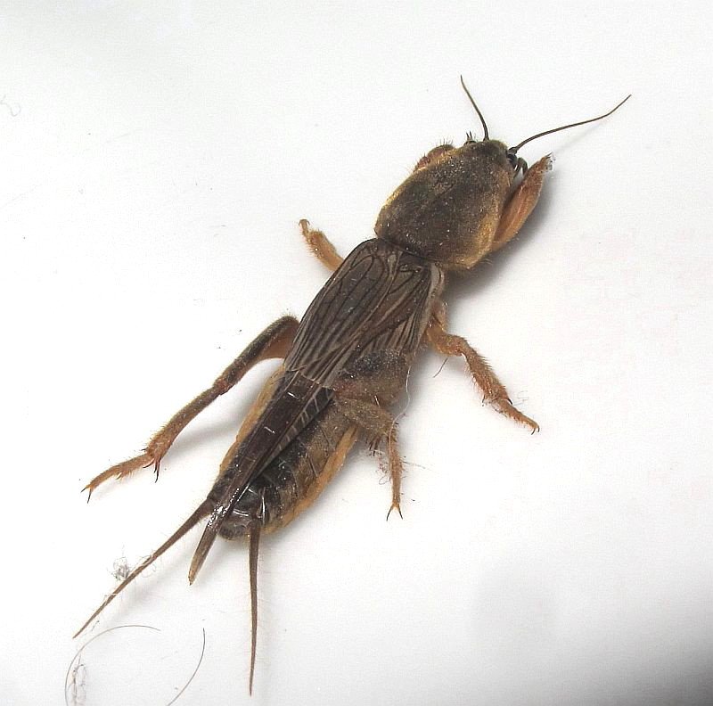 how to kill mole crickets