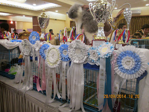 "6 month kitten ""Bella"" that swept away ""Best in Show"".with her cups and ribbons."