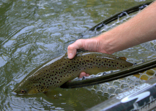 Releasing Nathan's fine Caney Fork brown trout