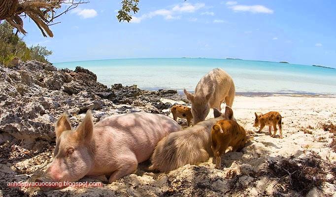 Đảo heo Big Major Spot – Bahamas 19
