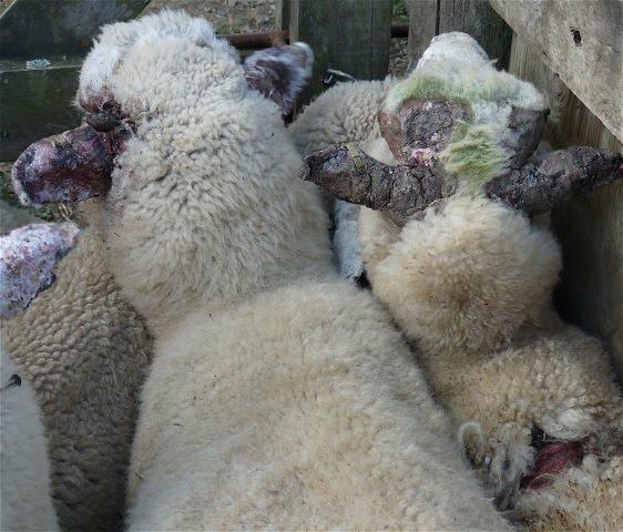 Preventing facial eczema in sheep tits