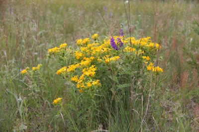 hoary puccoon, purple vetch, sheep sorrel