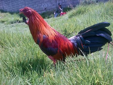 Rojo Panameño