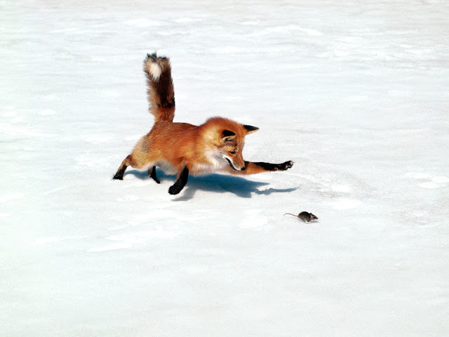 Snow Fox Playing with Rat
