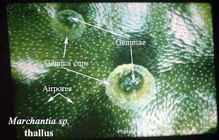 Gemma pada tumbuhan lumut Marchantia polymorpha