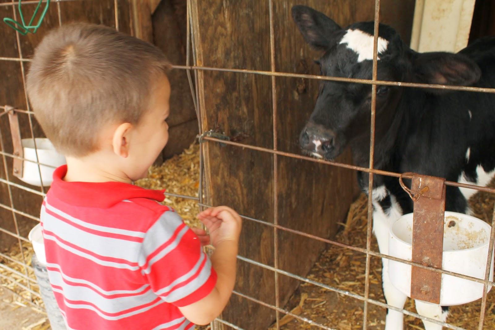 Hansen's Dairy Farm, Hudson, Iowa - Baby Calf