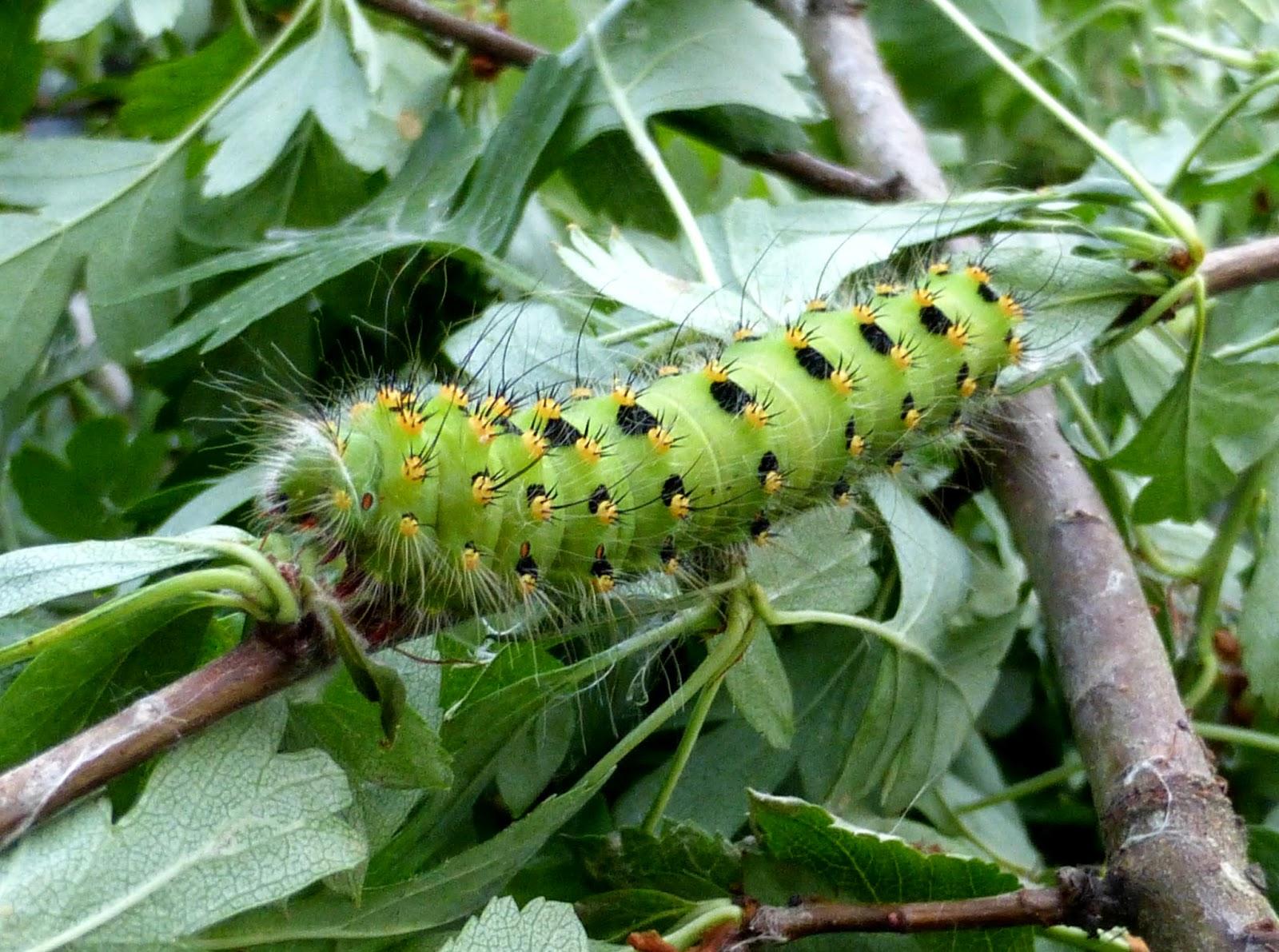 Saturnia pavoniella L5 caterpillar