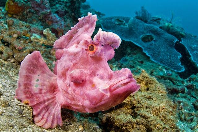 A paddle-flap scorpionfish (Rhinopias eschmeyeri)