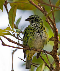Emerald Spotted Tanager Bird Pictures