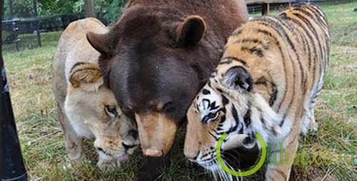 Beruang - Singa - Harimau