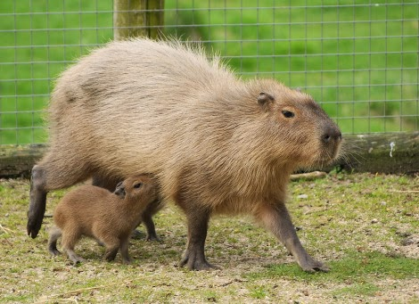 Capybara Animals | Amazing Facts & Latest Pictures | All ...