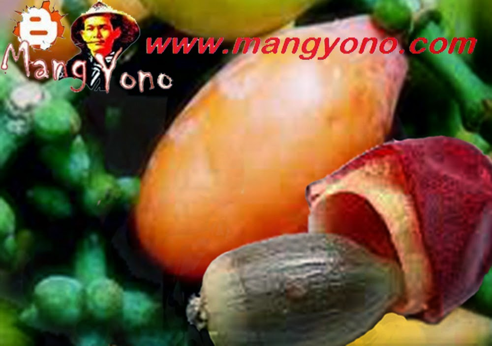 Kulit buah dari biji tangkil / melinjo dibuan