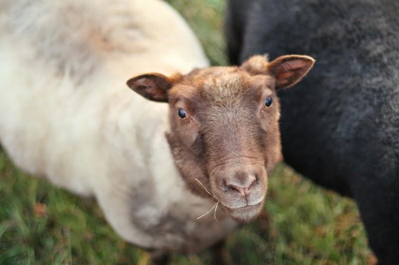 Berrit, Icelandic ewe at Litengård