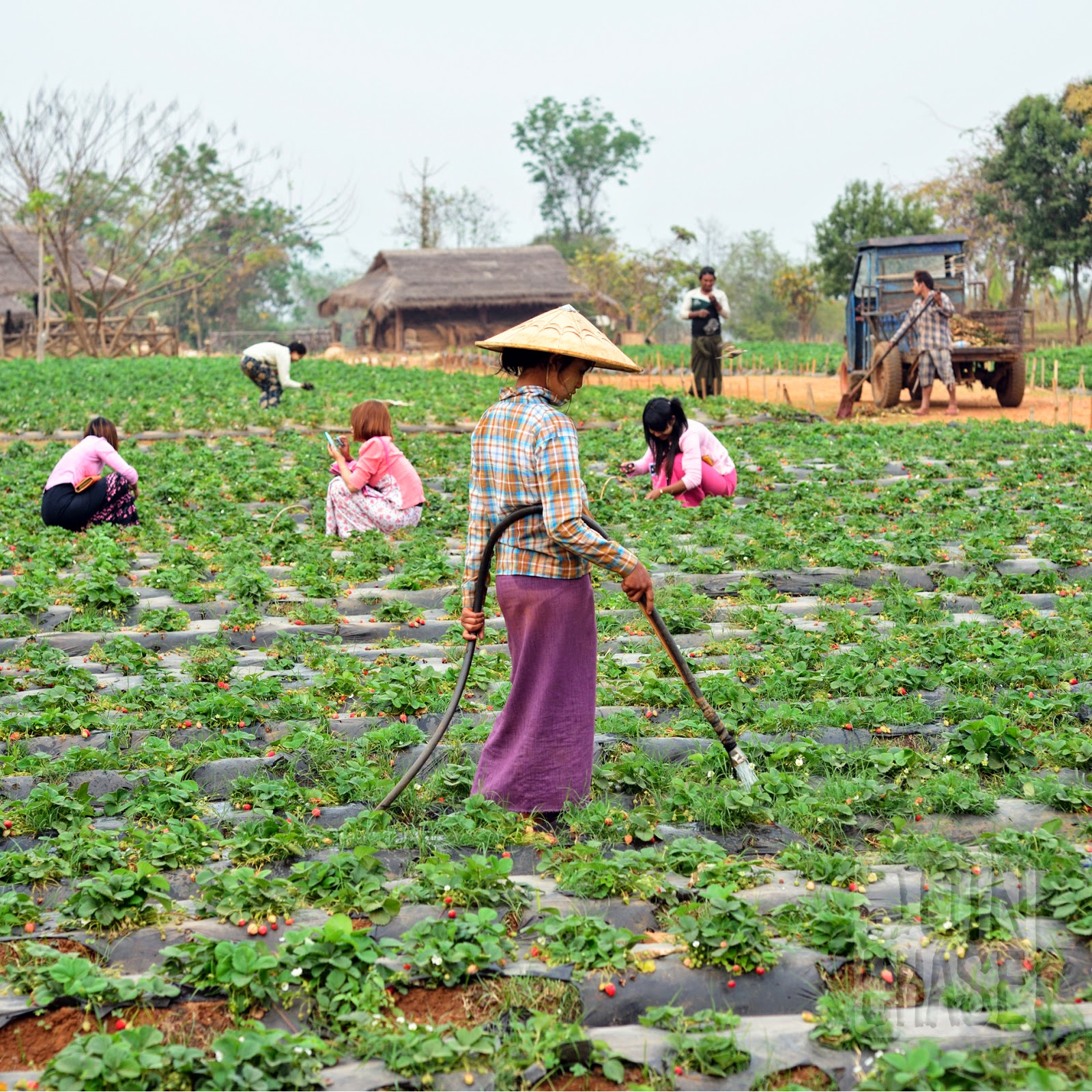 Workers on a strawberry farm near Pyin Oo Lwin, Myanmar.