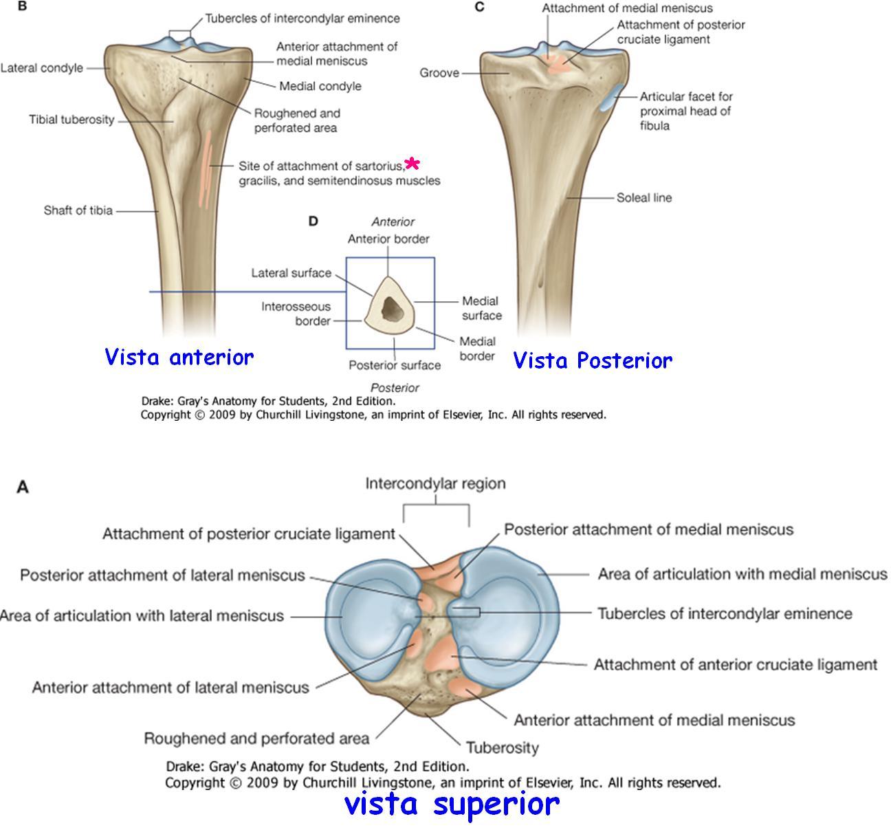 Anatomía UNAM: TIBIA